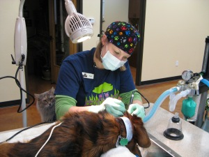 Practice Manager and Certified Veterinary Assistant, Mary Moritz, completes a professional dental cleaning under the close supervision of KC, our resident cat.